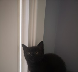Pets for Sale - Lovely BSH Cross 2 Kittens