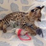Beautiful Serval kittens