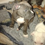 Beautiful Puppies for good home