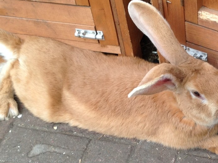 Yellow Continental Giant Rabbit