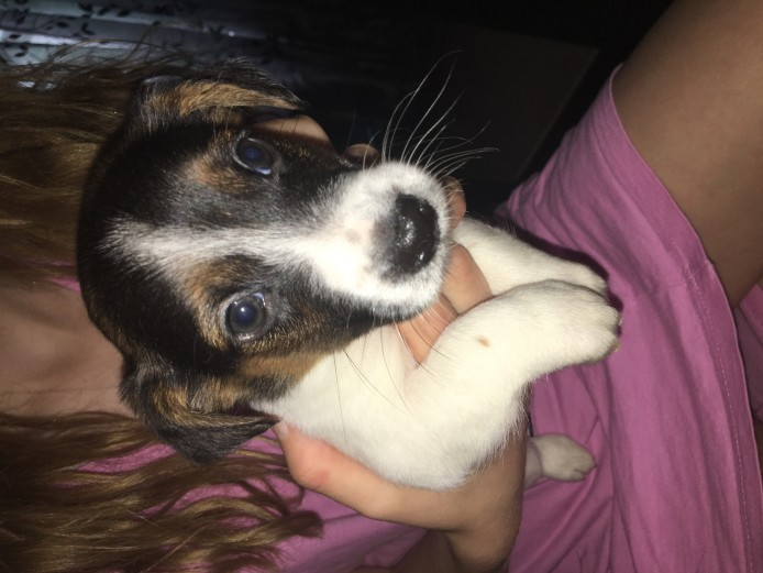 2male Jack Russell Puppies