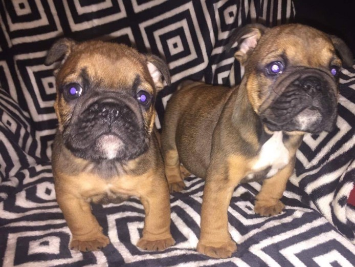 Beautiful Bully Babies Ready For Their New Homes