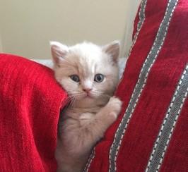 British Shorthair GCCF Pedigree kittens