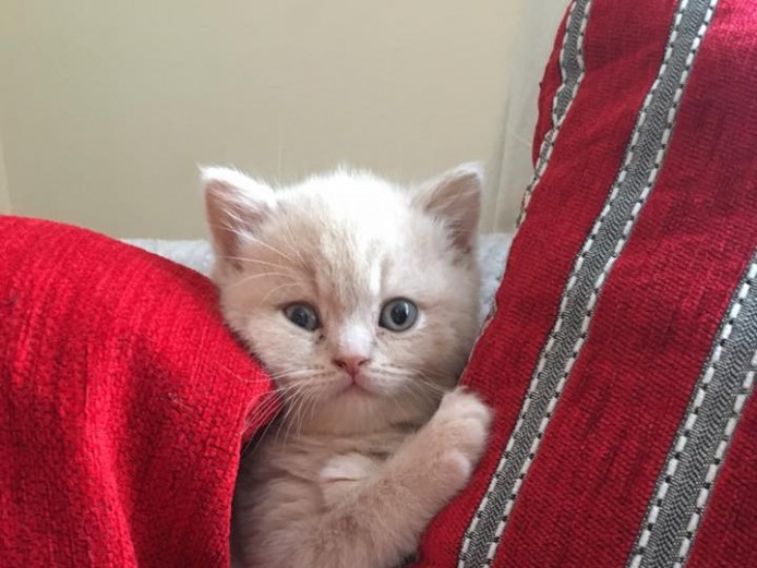British Shorthair GCCF Pedigree kittens