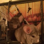 2 male chinchillas with enclosure and accessories