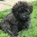 Unique lovely litter of cavapoochons for sale ready to go now.