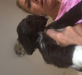 Male Sprocker Puppies