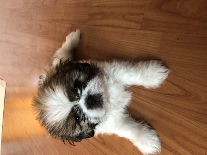 Lovely Male shih Tzu 8 weeks old