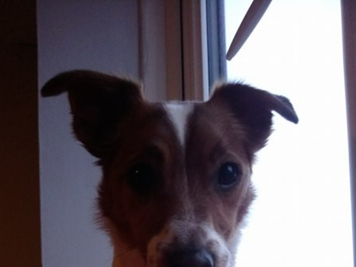 7 year old jack Russell.