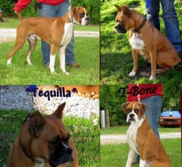 boxer wonderful companions puppies for sale