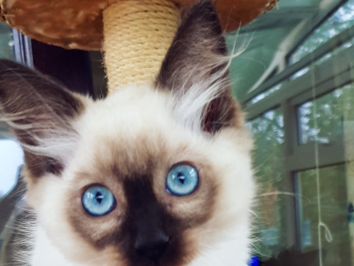 Outstanding GCCF registered Ragdoll kittens