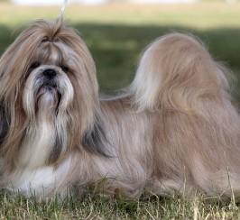 Outstanding Pedigree Shih Tzu male Puppy