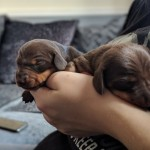 KC miniature dachshund smooth haired puppies for sale