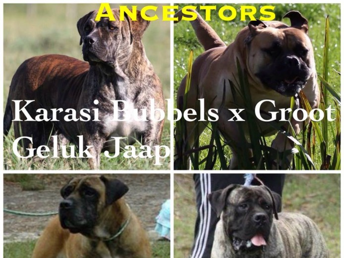 Boerboel puppies are here