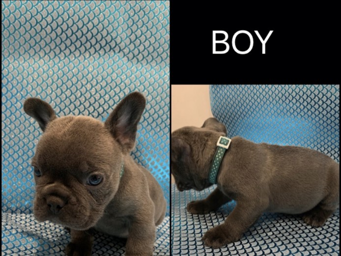 French bull dog pups