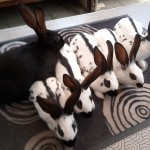 English spot rabbits black