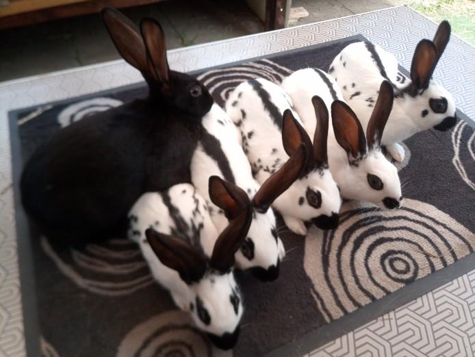 English spot rabbits black