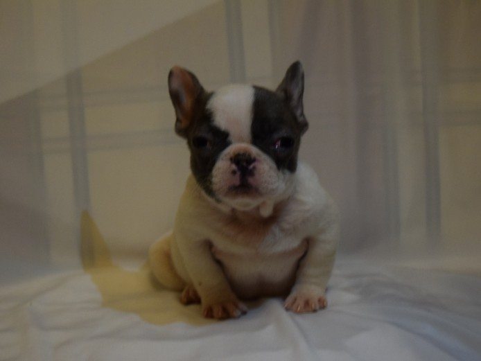 Top Quality Kc Reg French Bulldog Litter