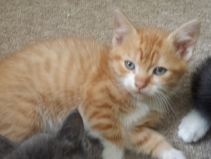 charcoal brown ginger, calico, ginger