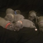 GREAT PEDIGREE BLUE STAFF PUPPIES FOR SALE