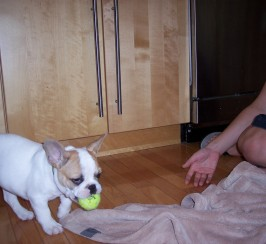 14 weeks old male french bulldog puppy ready now