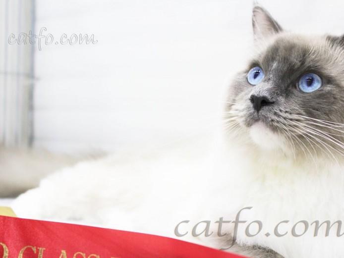 GCCF REGISTERED Ragdoll kittens from champion line