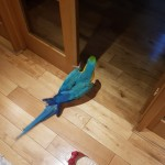 perfect feathers B&G macaws