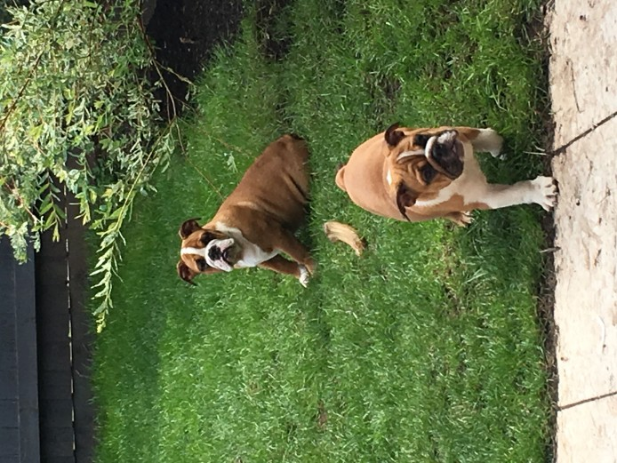 2 english bulldog puppies