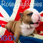 BRITISH BULLDOG PUPS FOR SALE