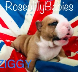 Pets  - BRITISH BULLDOG PUPS FOR SALE