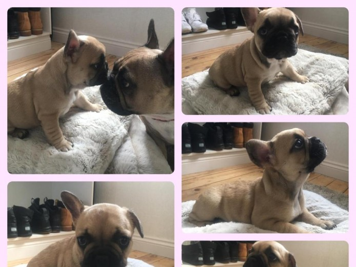 Gorgeous quad carrier french bulldog puppies