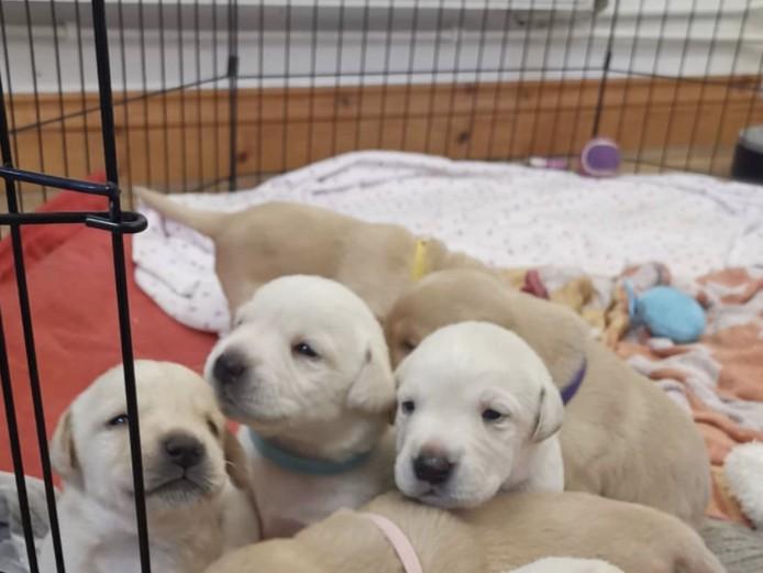 KC Registered Labradors