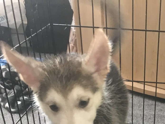 Gerberian Husky For Sale