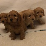 Golden Cockerpoo Puppies