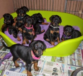 Quality Pups Available From Health Tested Parents