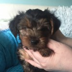 Yorkshire Terrier Girl Puppy For Sale