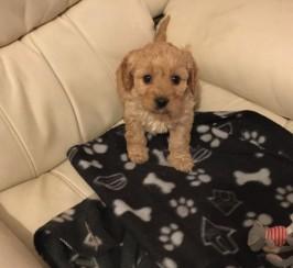 Cavalier Poodle Puppyi