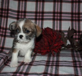 Chihuahua X Shih Tzu Puppie