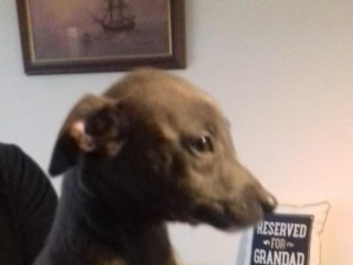 Stunning Litter Of Kc Registered Whippet  Pups