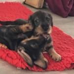 Standard Wirehaired Dachshund Puppies