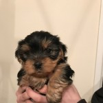 Yorkshire Terrier Pups.