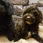 Fabulous Toy Cockapoo Puppies