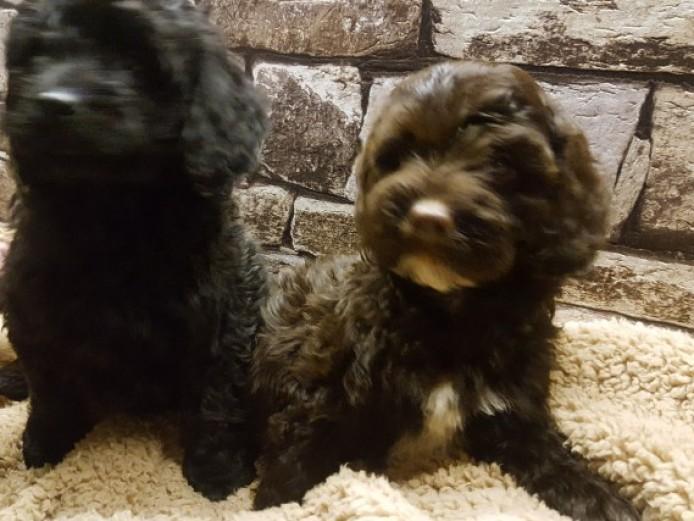 Fabulous Toy Cockapoo Puppies