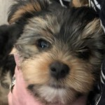Adorable Purebred Yorkshire Terrier Females.