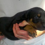 Beautiful Pure Bred Doberman Puppies For Sale