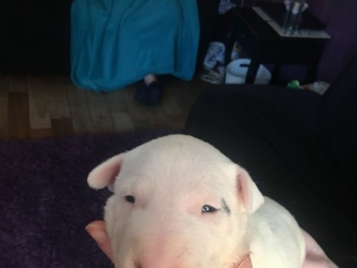 Bullterrier Pups