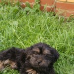 Adorable Shorkie For Sale