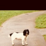 Kc  Reg English Spring Spaniel