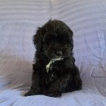 Beuatiful  F1b Cockapoo Puppies Pra-clear
