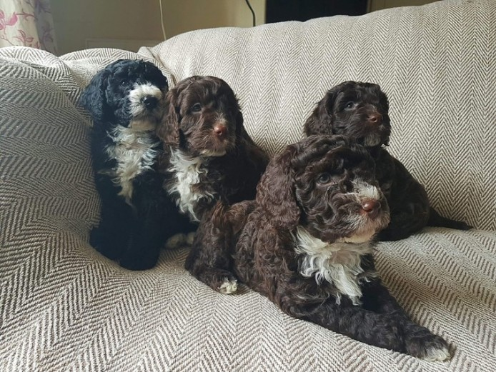 Chocolate Clumberdoodle Boy Puppies